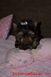 Štěňata Yorkshire Terrier - čokoládový