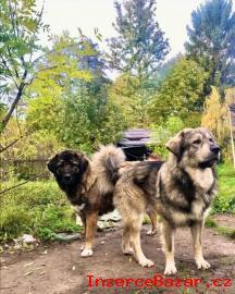 Kavkazský pastevecký pes s čipem