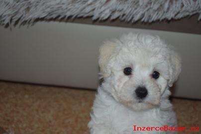 Boloňský psík (bílý) štěňátka s PP