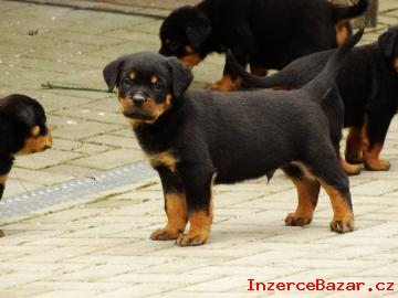 Rotvajler - štěnátka