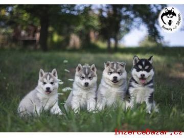 Nabízím k prodeji štěně SH s PP