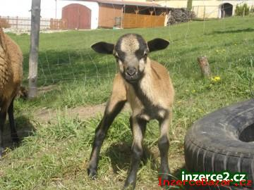Prodám kamerunské ovce.