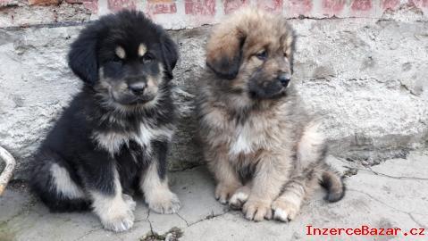 Tibetská doga - štěňata bez PP