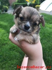 Prodám krásná štěňátka Čivavy