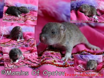 CHS potkanů Momins Of Opatov (MOO) - goo