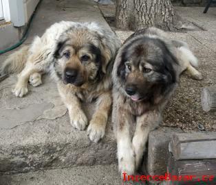 Šarplaninský pastevecký pes, štěně s PP