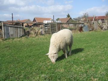 odeberu veškerou nebarevnou ovčí vlnu