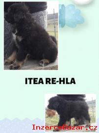 Tibetská doga – štěně