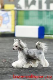 Čínský chocholatý pes - labutěnka