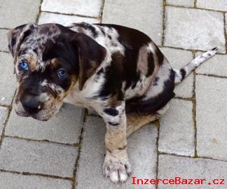 Louisiánský leopardí pes Catahoula