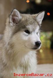 Štěňata Aljašského malamuta