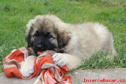 Šarplaninský pastevecký pes s PP