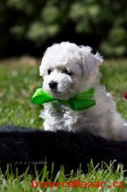 Boloňský psík (bílý) štěňátko  s PP