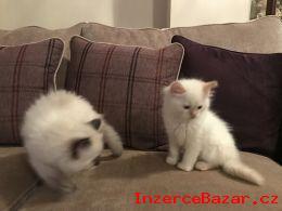 Koupit Ragdoll kočičí kotě, s nebo bez P