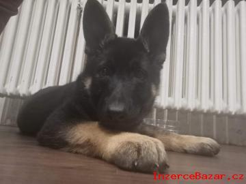 Německý ovčák - štěně pes