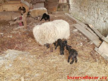 Quessantské ovce