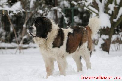 Moskevský strážní pes štěňatka s PP