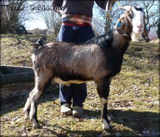 Nabídka připouštění koz 100% Anglonubijs
