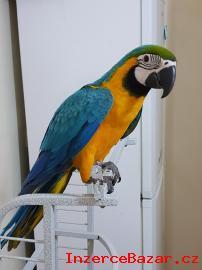 Ara Ararauna papoušci pro prodej
