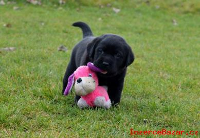 Černý pejsek labradorského retrievera
