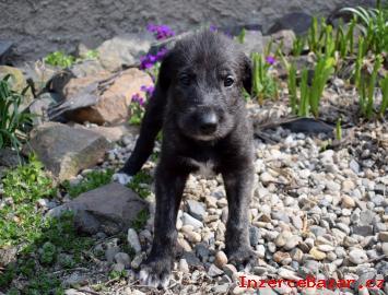 Irský vlkodav štěňata
