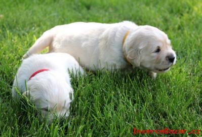 Zlatý retriever - štěnátka