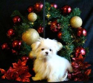 vynikající maltské štěňata na Vánoce Sp