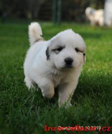 Pyrenejský horský pes - štěňata s PP