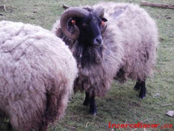 Quessantská ovce - jehně.