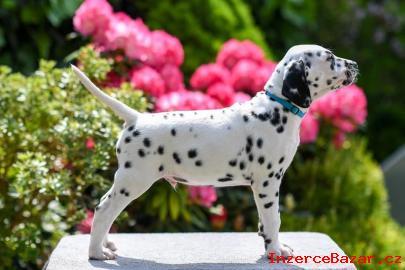 Dalmatin štěně