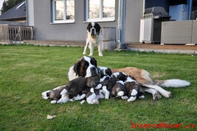 Svatobernardský pes - štěňata s PP