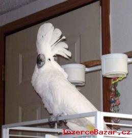 Dostupný Kakadu papoušci