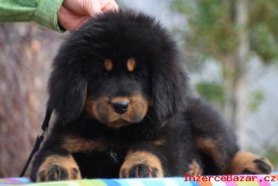 Tibetská doga - fenky s průkazem původu
