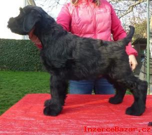 Knírač velký černý s PP