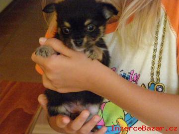 Čivava - prodám krásná štěňátka