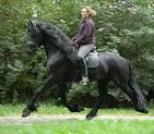 Fríský kůň na prodej