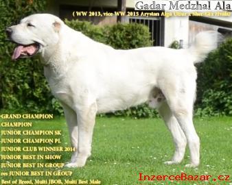 Středoasijský pastevecký pes, SAO s PP