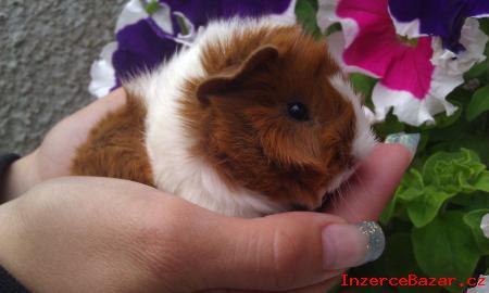 Morčátko - nádherný sameček