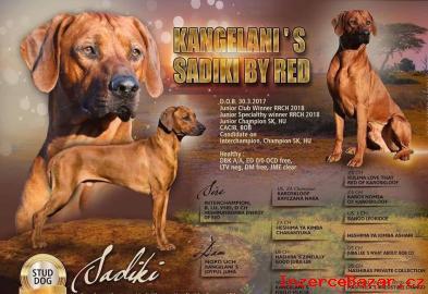 Rhodesian Ridgeback- štěňátka