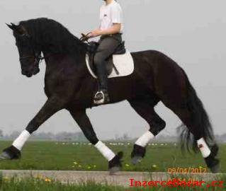 Fríský valach koně.