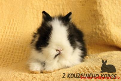 Zakrslý teddy králíček s VP