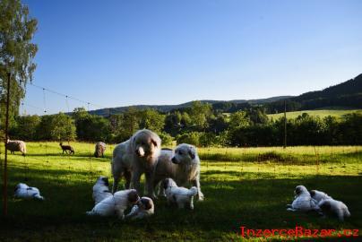 Pyrenejský horský pes, štěňata s PP