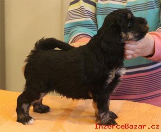 TIBETSKÝ TERIÉR - štěně s PP