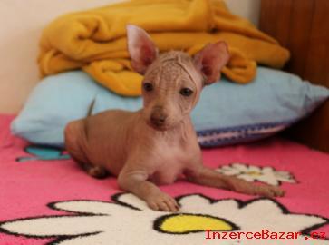 Peruánský naháč malý s PP