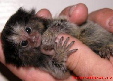 Deti Samec A Samice Marmoset Opice
