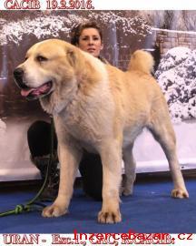 Středoasijský pastevecký pes štěnátka