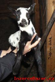 Holandská zakrslá koza