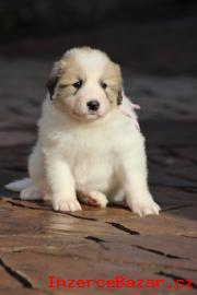 Pyrenejský horský pes s PP