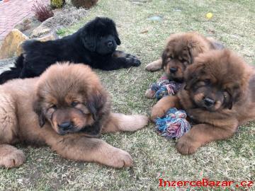 Tibetská doga-štěňata již k odběru