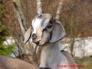 75% Anglonubijský kozlík na prodej